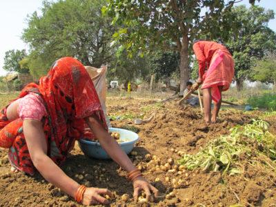 femme indienne recolte des pommes de terre