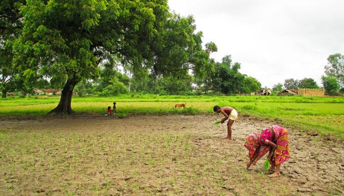 plantage de riz à Bargarh en Inde