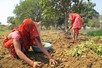 Potatoe harvesting by an indian woman