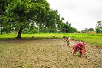 repiquage de semis de riz en Inde